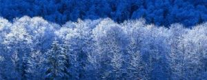 Snowy trees in a blue landscape